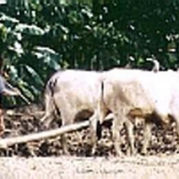 Oxen draft animals