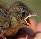 If You Find a Baby Bird: What Do You Do?