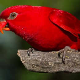 Milonga, red lory