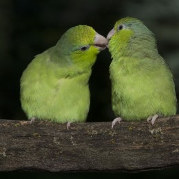 Pickles and Apples, Pacific parrotlets
