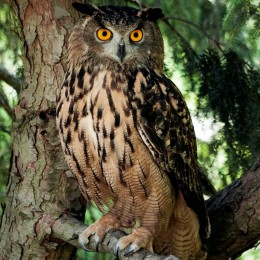 Swoop, Eurasian eagle-owl