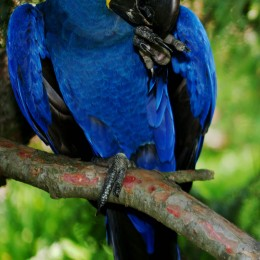 Largest parrot, hyacinth macaw