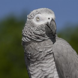 Olivia, African grey parrot