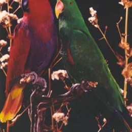 Red (F) & Green (M) Eclectus