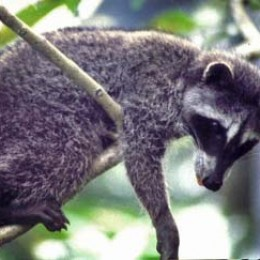 Raccoon in Central America