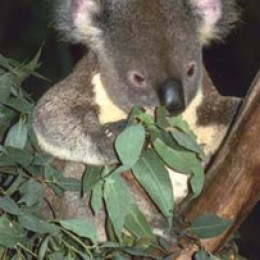 Australian Koala Bear