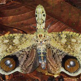 Fulgora laternaria male butterfly