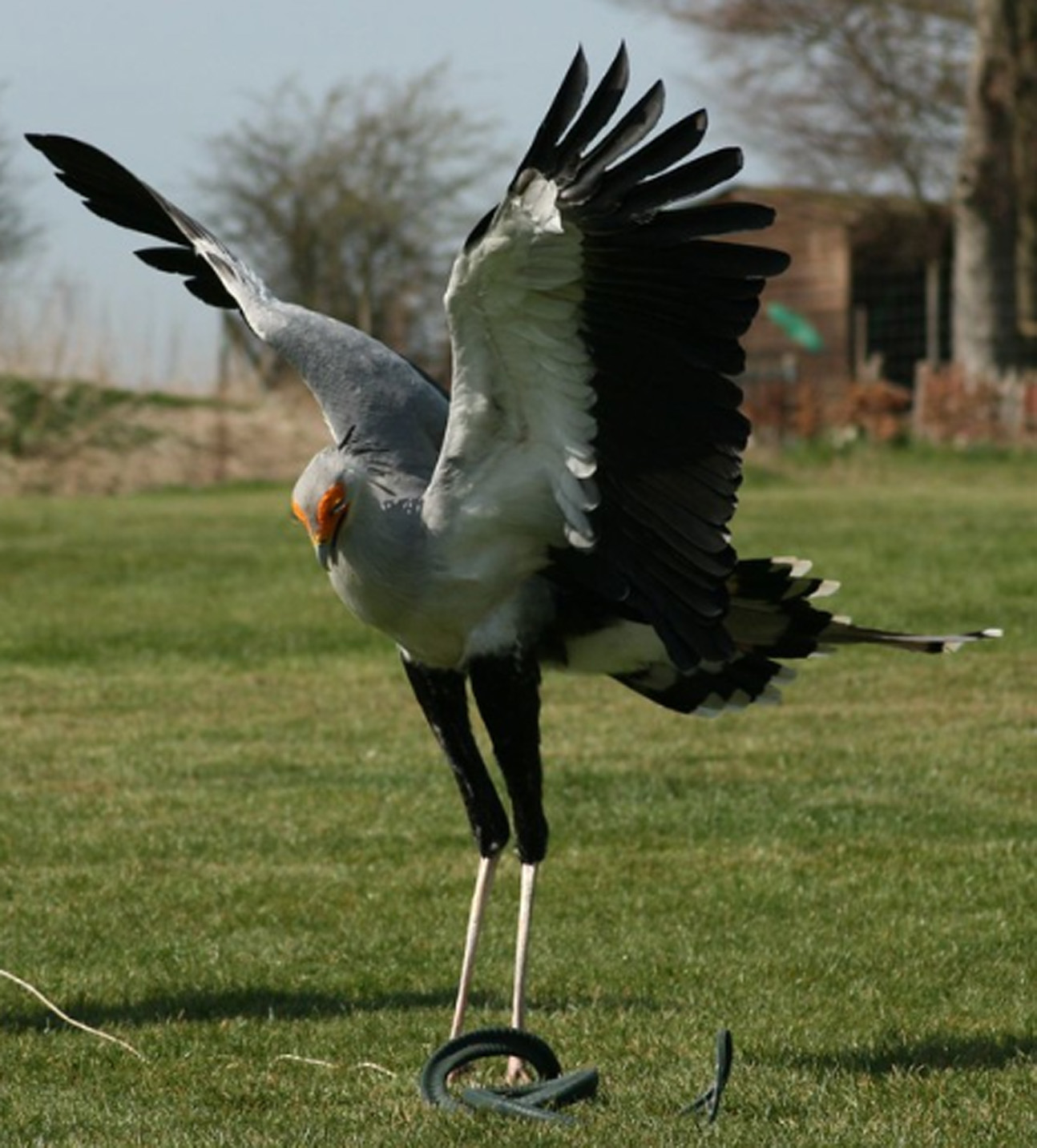 Secretary bird at Hawk Conservancy Trust